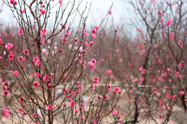 Hình ảnh cây hoa đào