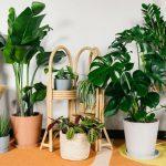 10+ Loại cây không nên trồng trong nhà để tránh bị bệnh